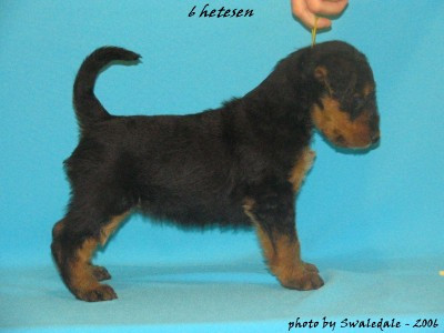 Swaledale kennel's B litter, Blueberry