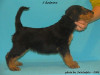 Swaledale kennel's B litter, Bluebell